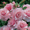 rosas-artsoap