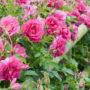 rosas damacenas